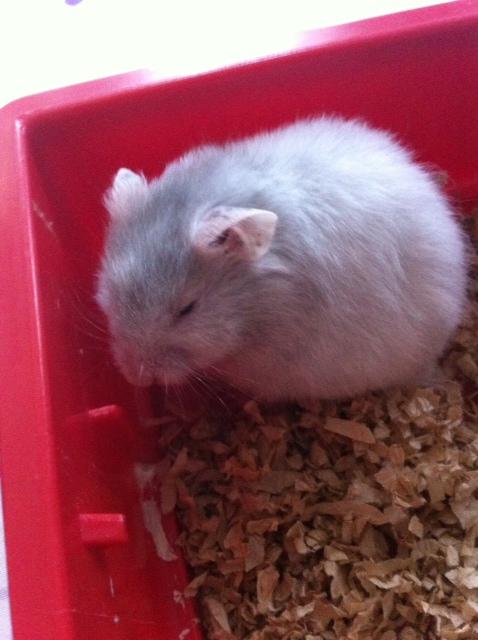 snowball hamster