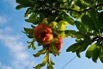 -Pomegranate